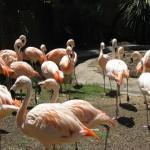 Chilean Flamingoes