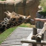 Feeding hungry Giraffe