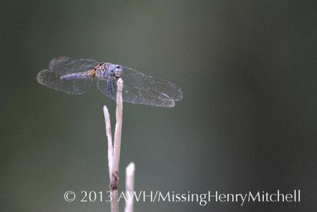blue dragonfly, species unknown