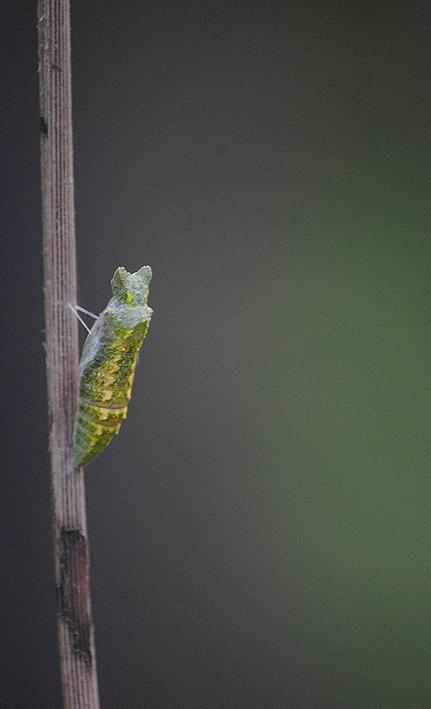 swallowtail butterfly chrysalis