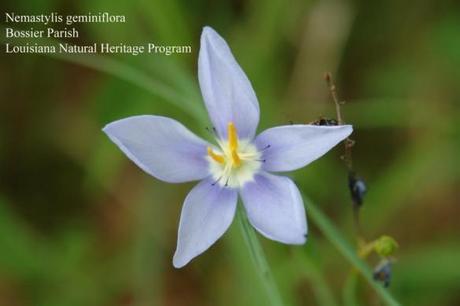 Nemastylis geminiflora, prairie celestials