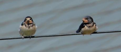 These young swallows look a bit apprehensive about their long journey...or maybe they're just worrying who's going to get the next insect meal (photo: Amanda Scott)
