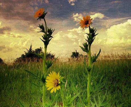 Sunflowers © Wayne Greer