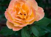 Strike Rich Tahitian Sunset Roses