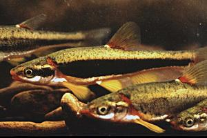 Blackside dace photo by Richard G. Biggins, USFWS.