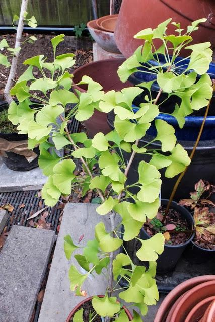 Kindness Through Ginkgos