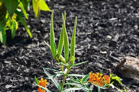 Tale of two plants - Butterfly Weed and Swamp Milkweed