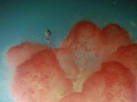 huge jellyfish at Bako
