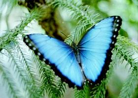 Could Natural Chemical Processes On Morpho-Butterfly Wings Be The Next Solar Research Break?