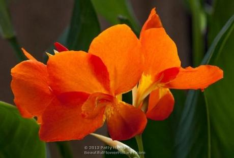 Magic Orange Canna © 2013 Patty Hankins