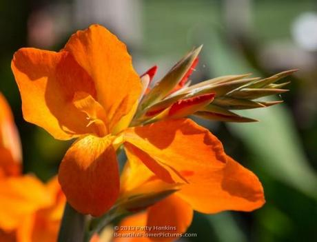 Orange Punch Canna © 2013 Patty Hankins