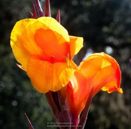 Orange Canna © 2013 Patty Hankins