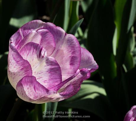 Shirley Tulip © 2012 Patty Hankins