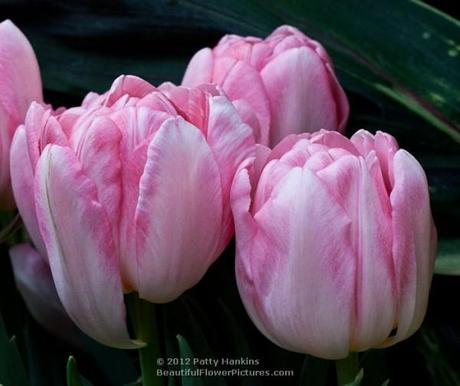 Foxtrot Tulip © 2012 Patty Hankins