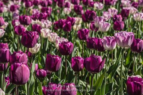 Shirley & Negrita Tulips © 2012 Patty Hankins