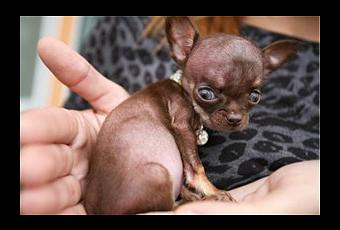 Miracle Milly Named World S Smallest Dog Paperblog