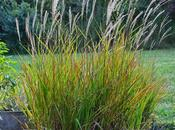Miscanthus Purpurascens (Flame Grass)