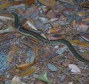 Glass Lizard
