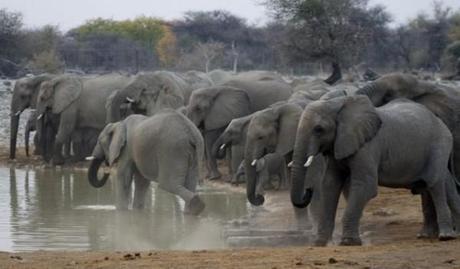 Elephants at the Okaukuejo waterhole/rest camp in Etosha National Park, Namibia