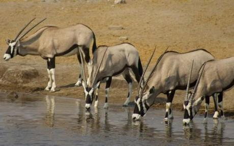 Oryx at a water hole in Etosha National Park, Namibia