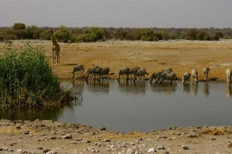 Zebras drinking at a waterhole with a giraffe looking on. In Etosha National Park, Namibia