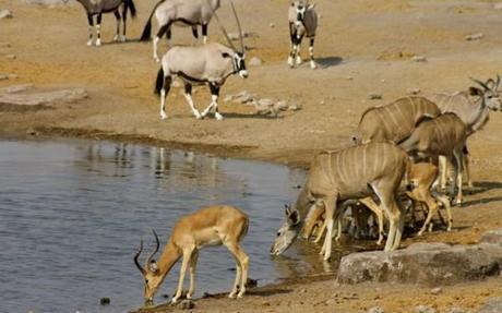 Springbok, Kudu and Oryx congregated at a waterhole in Etosha, Namibia