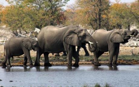 Elephants drinking at a waterhole in Etosha National Park, Namibia