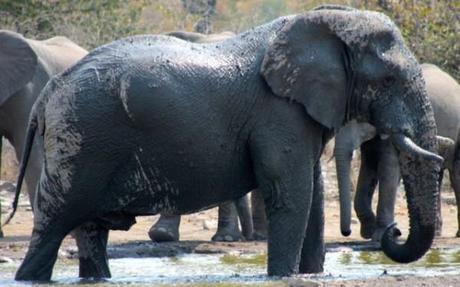 Elephant taking a mud bath in Etosha, Namibia