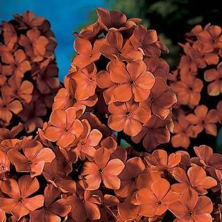 Orange Perfection Phlox