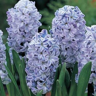Blue Ice (Sky Jacket) Hyacinth