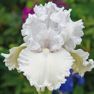 Tall Bearded German Iris Queen of Angels