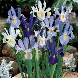 Blue And White Dutch Iris Blend