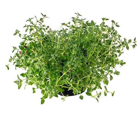 Health Benefits Thyme Herb