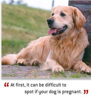 dog pregnancy stages dog breeds picture
