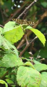 Speckled Wood butterfly perching (photo: Amanda Scott). Presumably a male