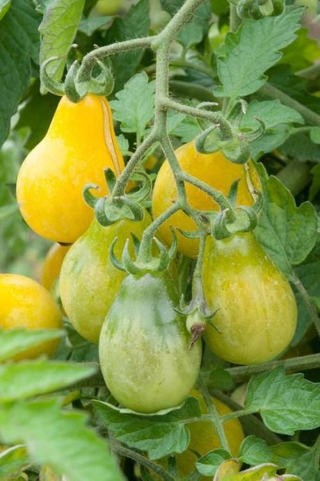 Ch teau de la bourdaisi re tomato heaven paperblog - La bourdaisiere tomates ...