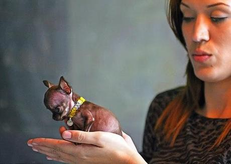 TINY Chihuahua Crowned 2014 WORLD'S Smallest DOG!