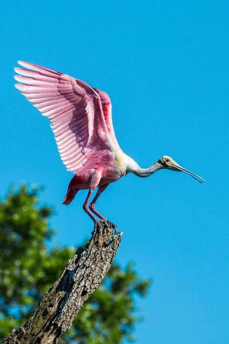 Rosette-Spoonbill-about-to-Take-Off