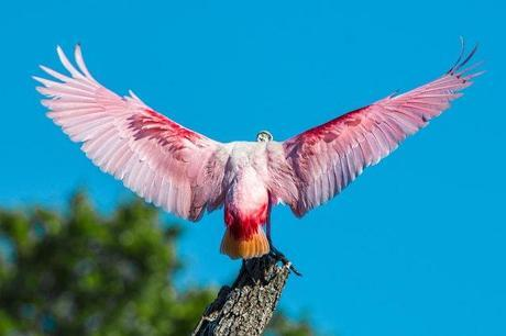 Rosette-Spoonbill-Wings-Spread-from-Behind