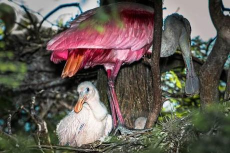 Rosetta-Spoonbill-Chick-in-Nest-Deep-within-a-Tree