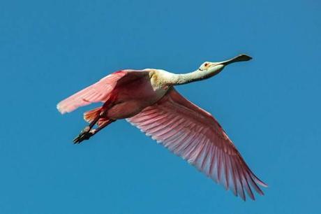 Rosette-Spoonbill-in-Flight