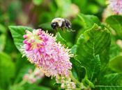 Clethra Alnifolia (Summersweet) 'Ruby Spice'