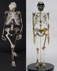 Cleveland's reconstruction of Lucy (left) and BoneClone's reconstruction of Lucy (right)