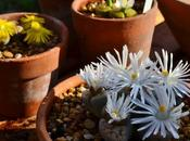 Flowering Lithops