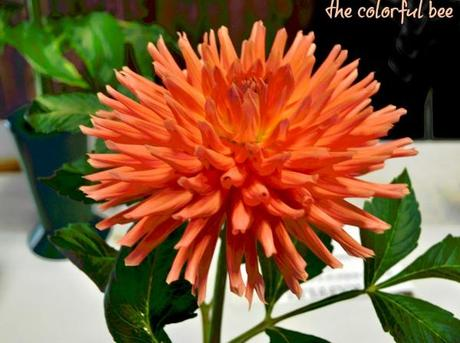 an orange salmon colored dahlia