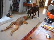FUNNY VIDEO: Laziest DOGS Ever!