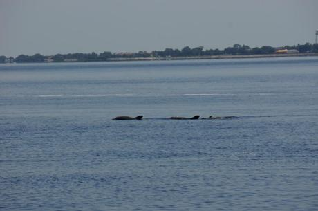 Three dolphins on the Bay
