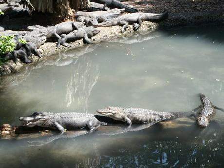 Little gators sitting on a log
