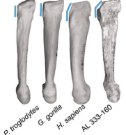 The AL 333-160 metatarsal compared to those of some apes