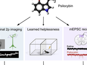 Psilocybin Induces Rapid Persistent Growth Dendritic Spines Frontal Cortex Vivo